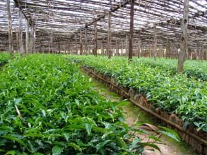 Rwanda Tea Nursery